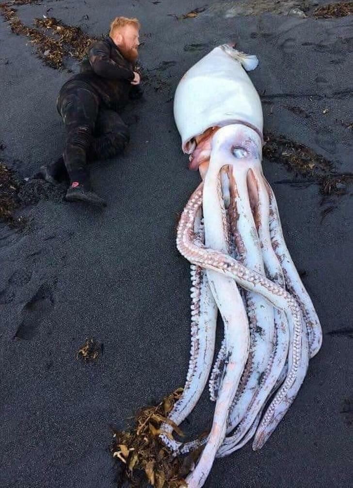 огромный кальмар