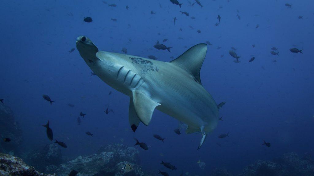 как выглядит акула молот