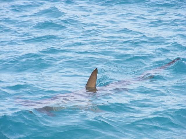 акулий плавник выступает из воды