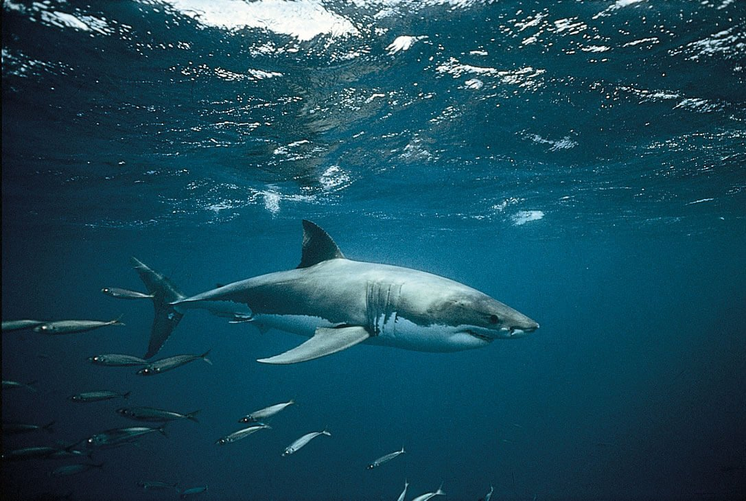 внешний вид белой акулы