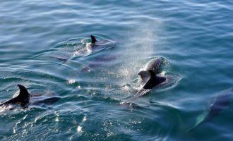 когда дельфин опасен