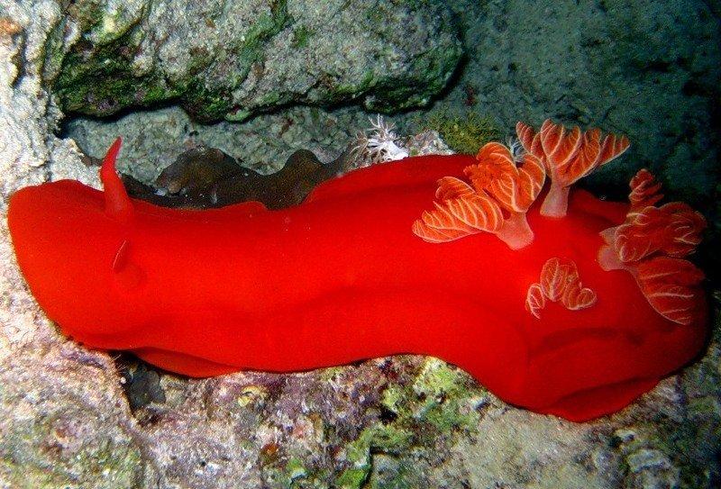 как выглядит голожаберный моллюск