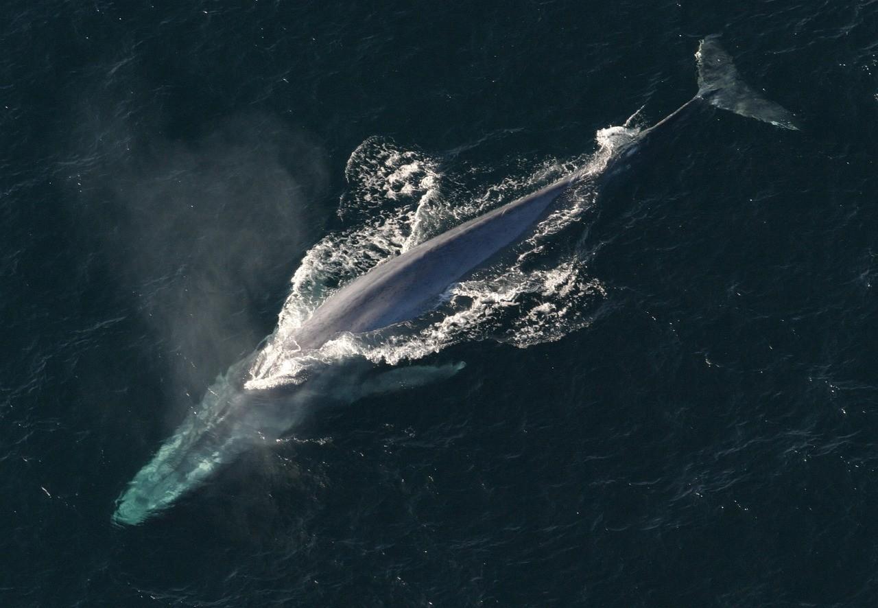 поразительные размеры синего кита