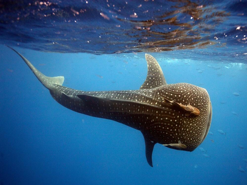 как выглядит китовая акула