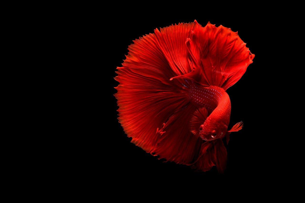 яркий красный петушок