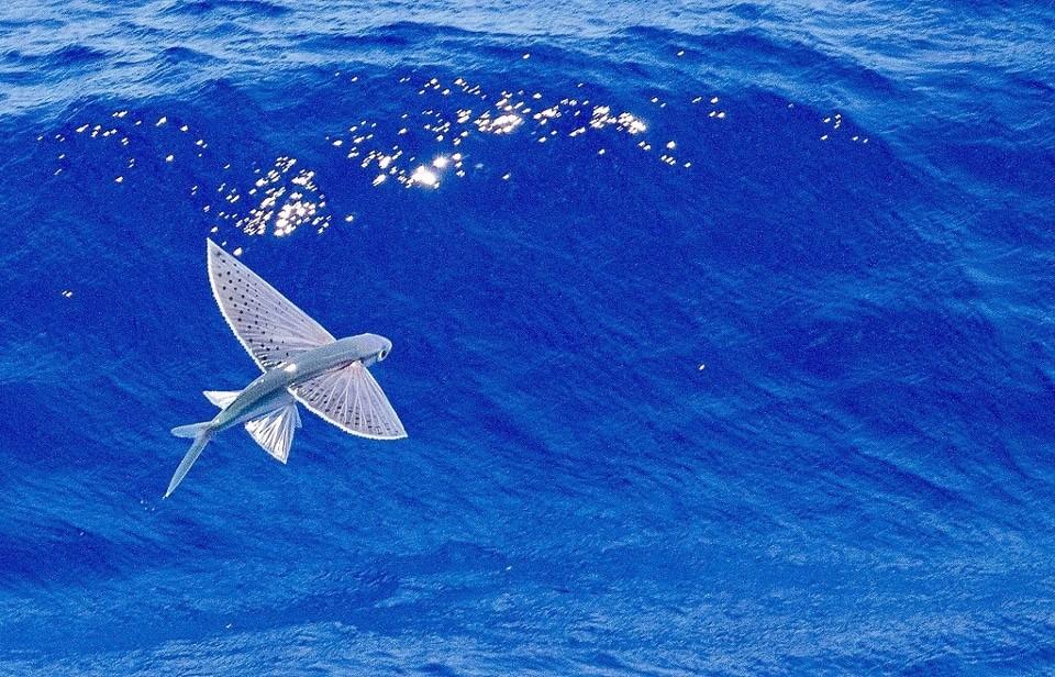 японская летучая рыба