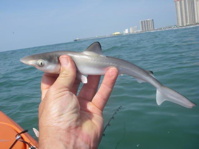небольшая акула