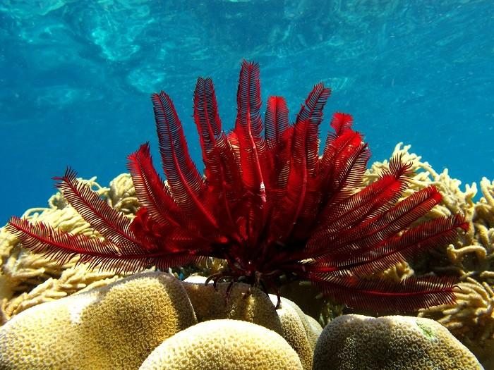 как выгляядит морская лилия
