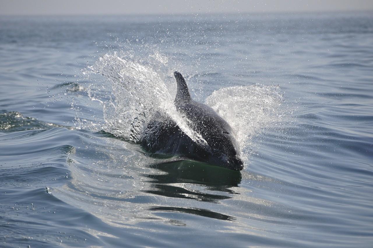 как выглядит морской дельфин