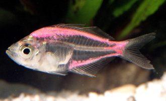 строение прозрачной рыбы