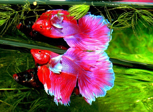 бойцовская рыбка бетта