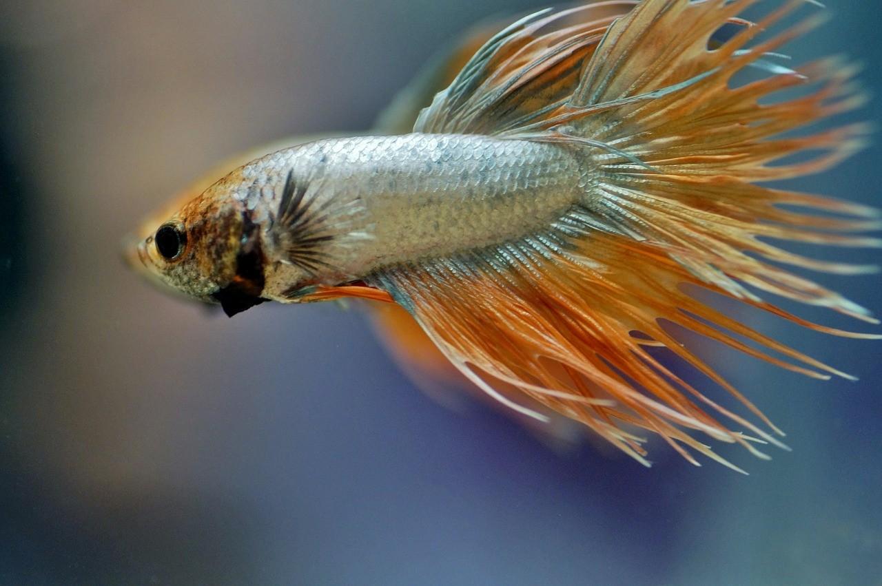 рыба с бойцовским характером