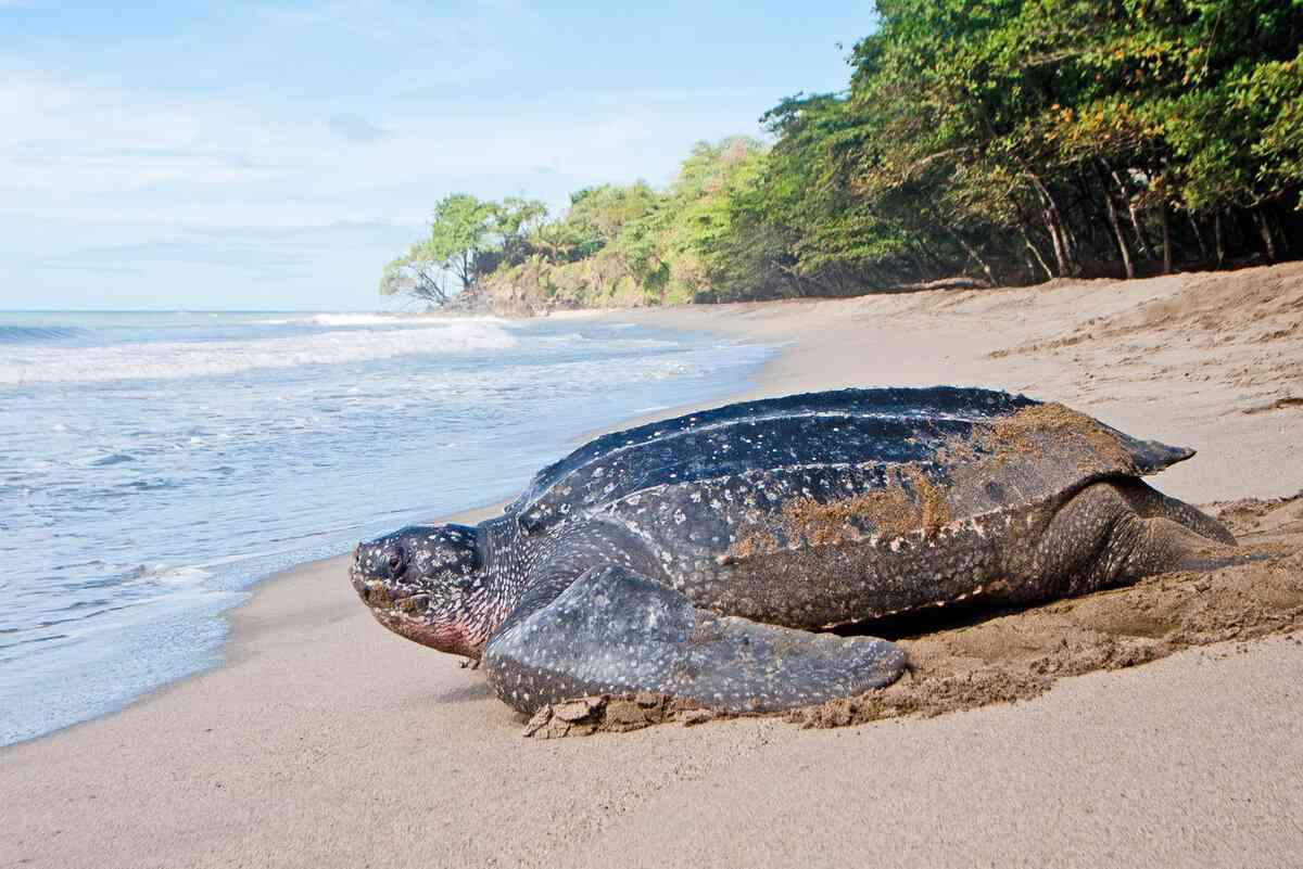 исчезающая кожистая черепаха