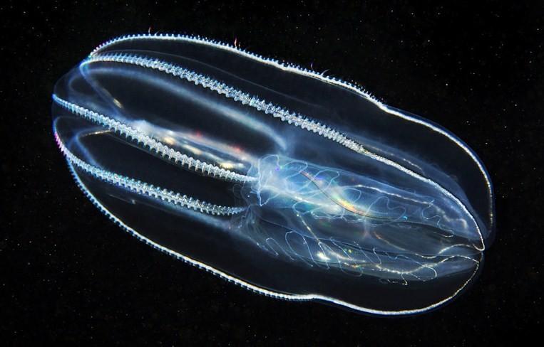 внешний вид медузы мнемиопсис