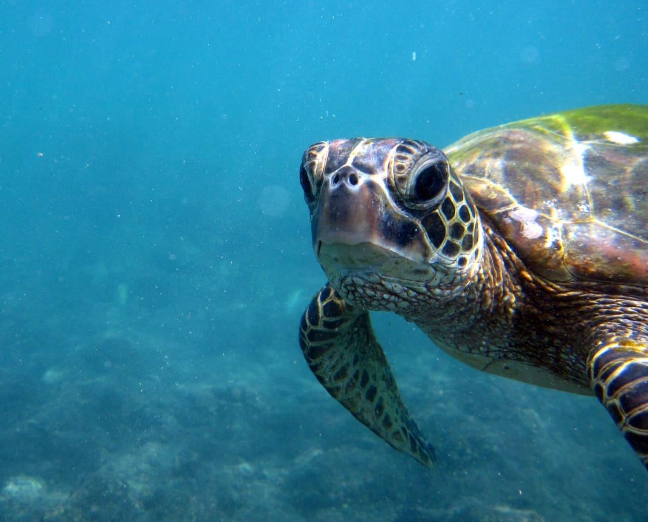 черепаха биса