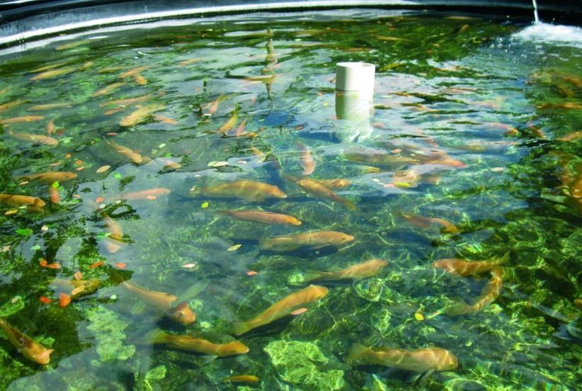 акваферма с рыбой