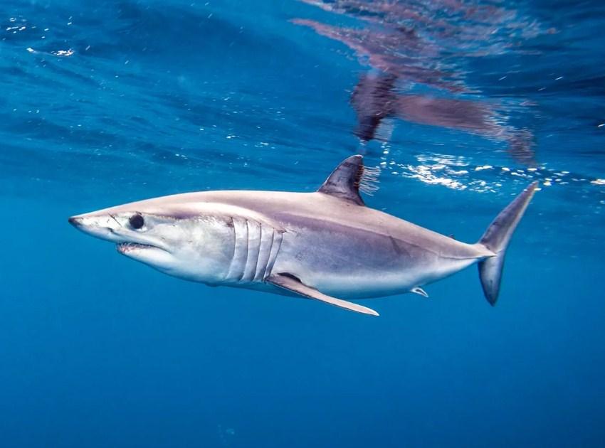 грозный вид акулы мако