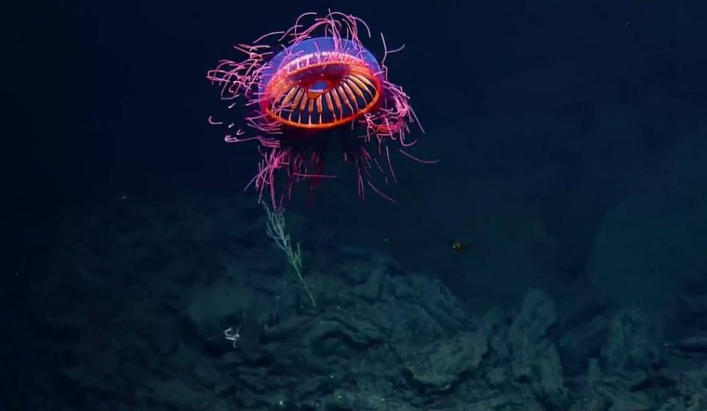 кровавая медуза атолла на глубине