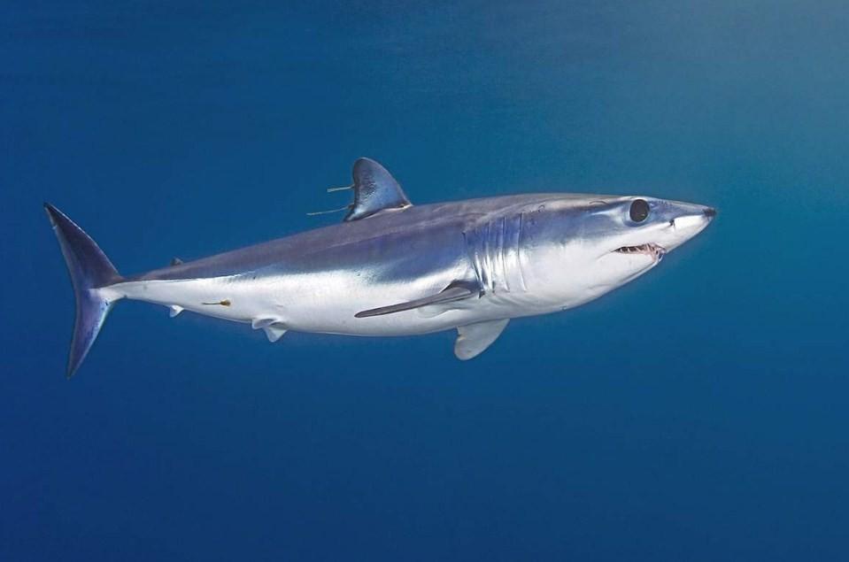 внешний вид акулы мако