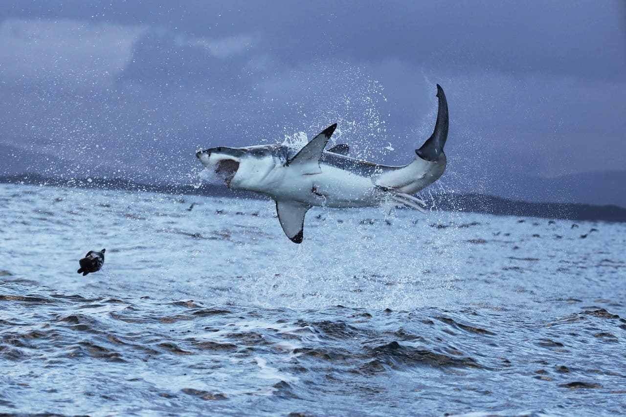 прыжок акулы над водой
