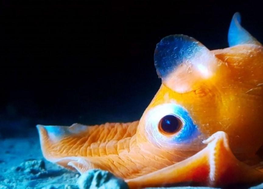 внешний вид осьминога дамбо