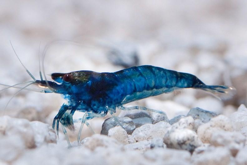 креветка голубого цвета