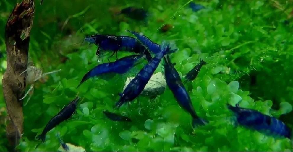 голубые неокардины