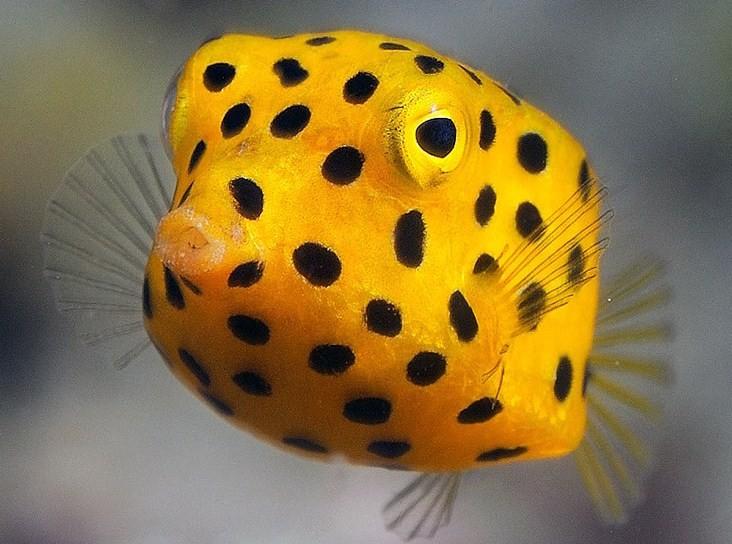 квадратная рыба обитает в теплых водах