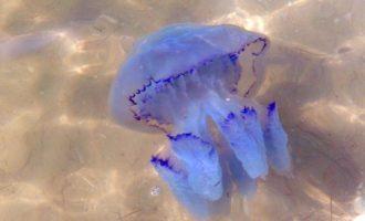 большая синяя медуза