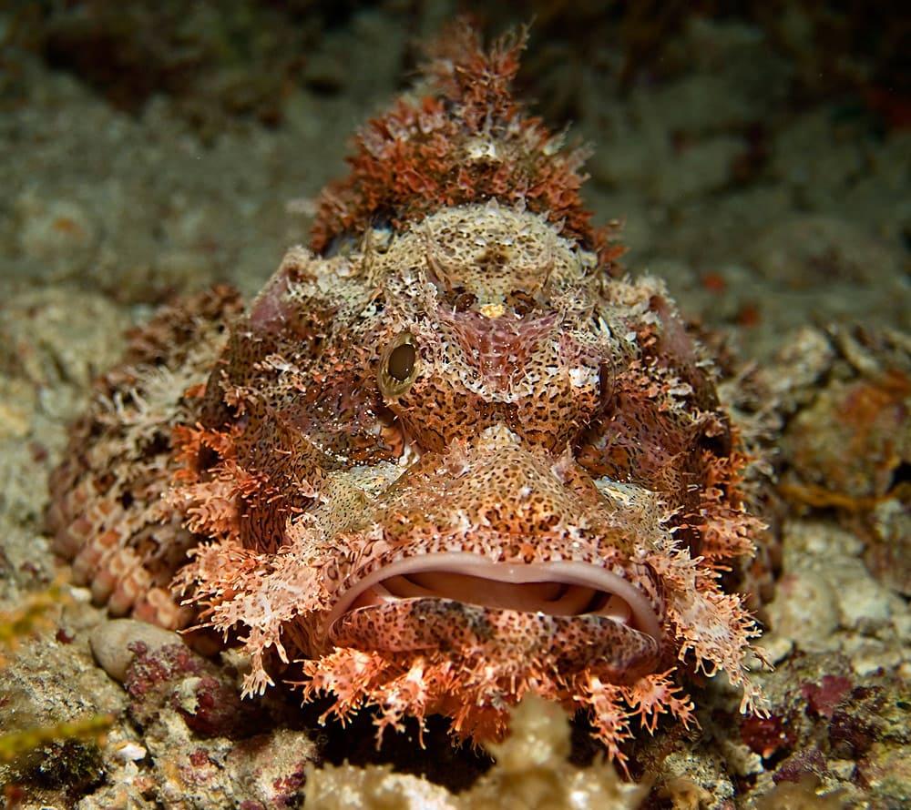 как выглядит рыба скорпена в Черном море