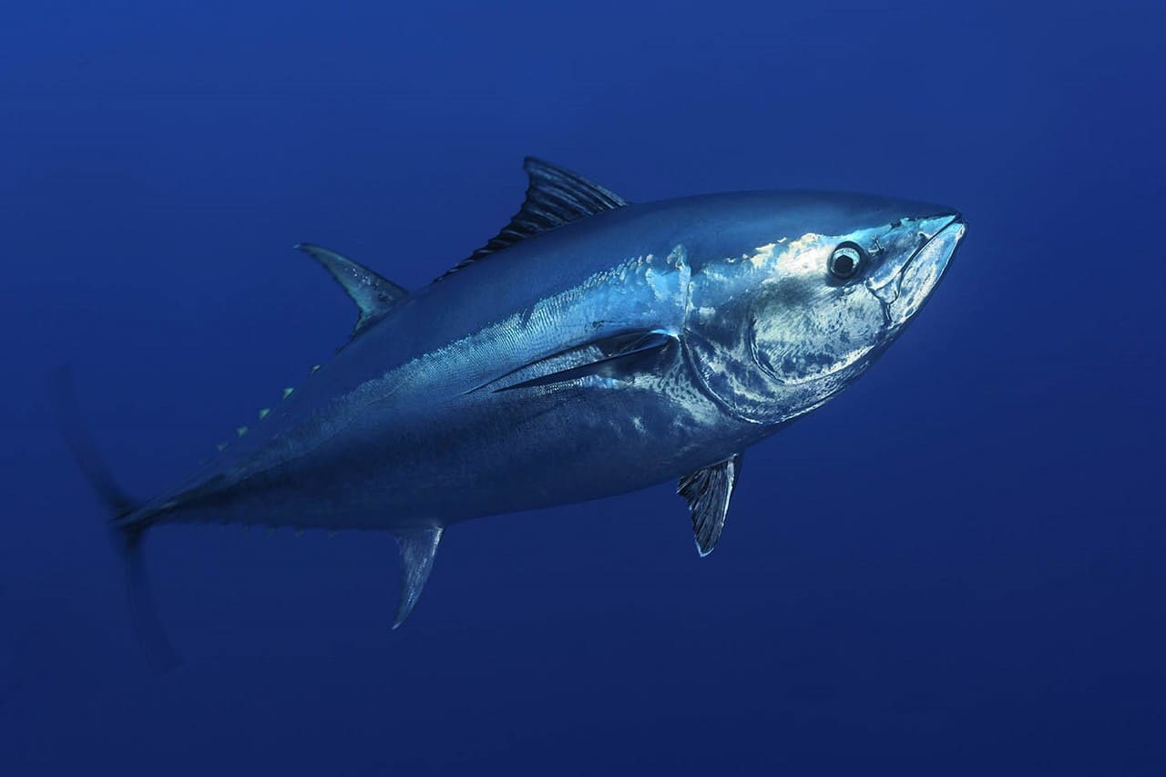 крупній тунец в воде