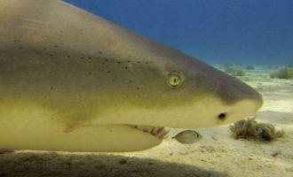 голова лимонной акулы