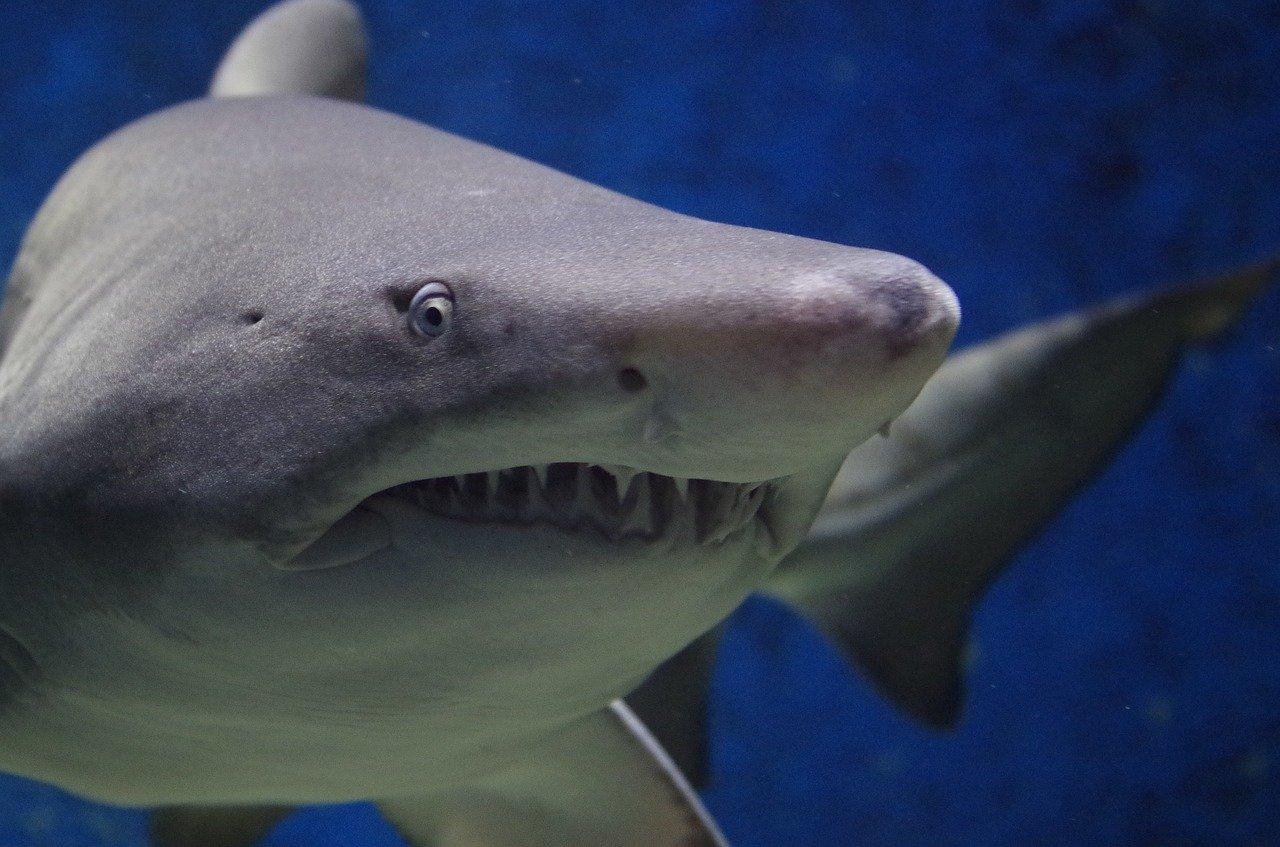 акула является злобным хищником