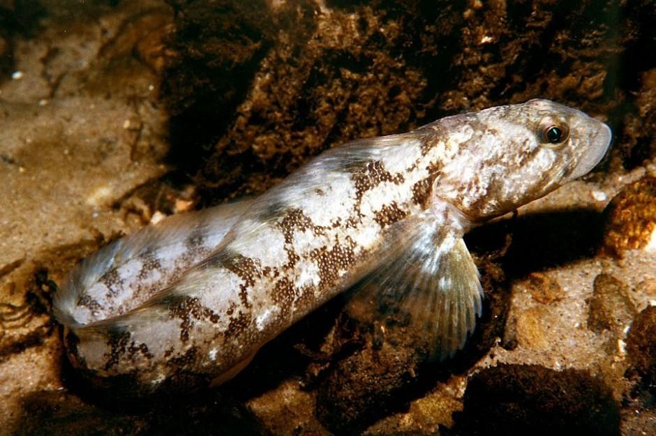 что стало причиной исчезновения с продажи рыбы бельдюги