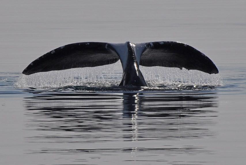 хвостовой плавник гренландского кита