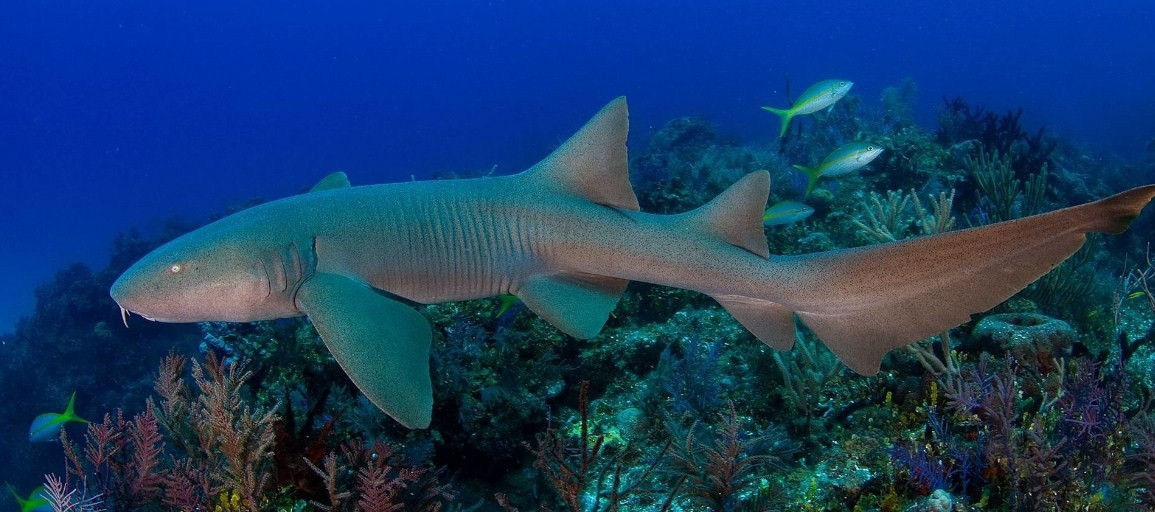 внешний вид акулы няньки