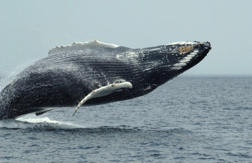 полярный кит над водой