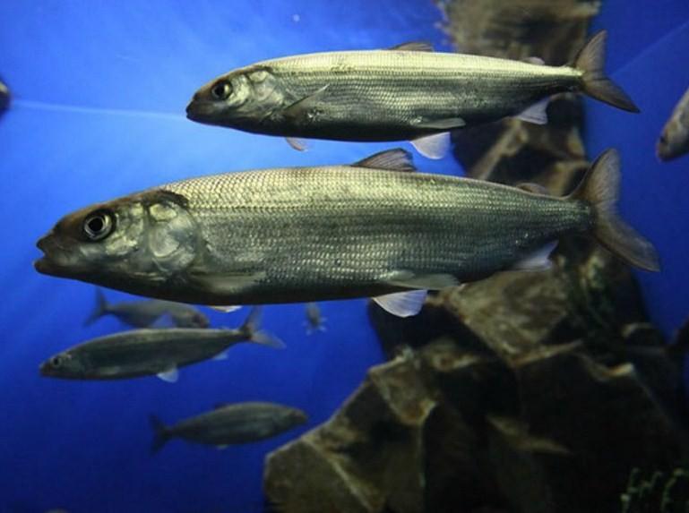 рыба байкальский омуль