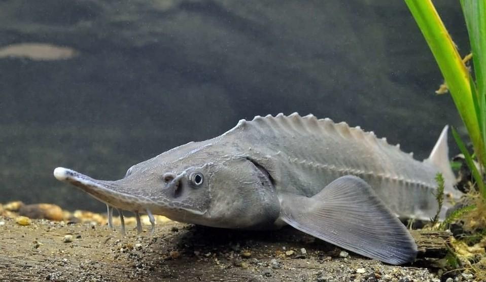 как выглядят осетровые рыбы