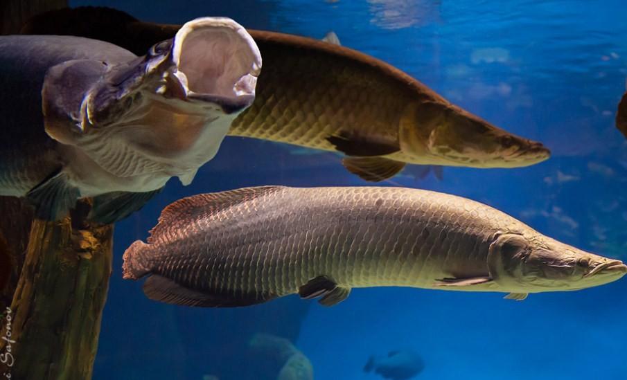 самая большая рыба из пресных водоемов
