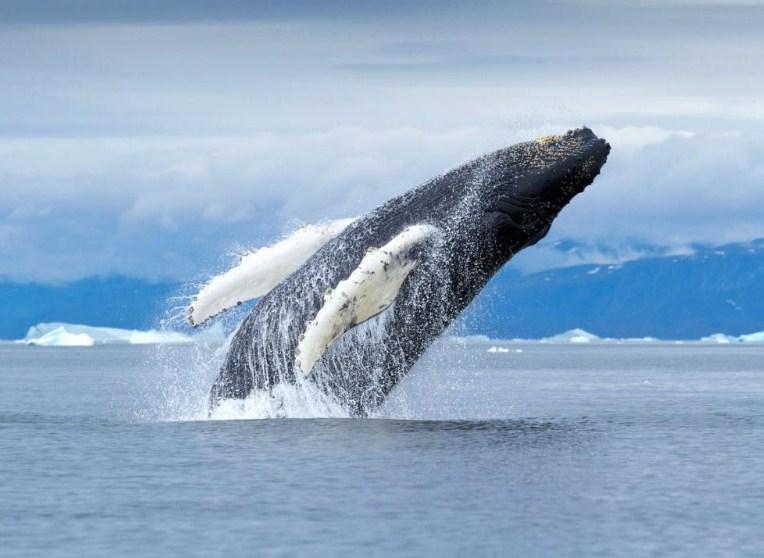 прыжок кита над водой