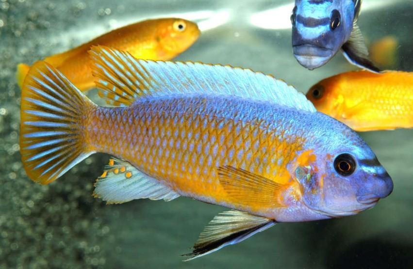 умные рыбки цихлиды