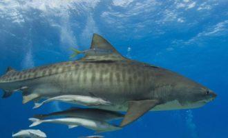 может ли быть акула доброй