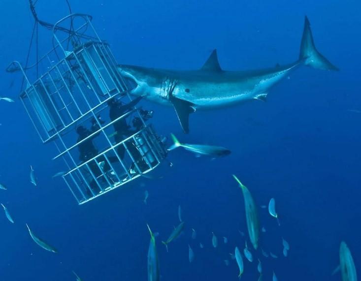 белая акула нападает на клетку