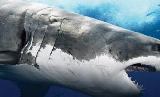 как выглядит белая акула