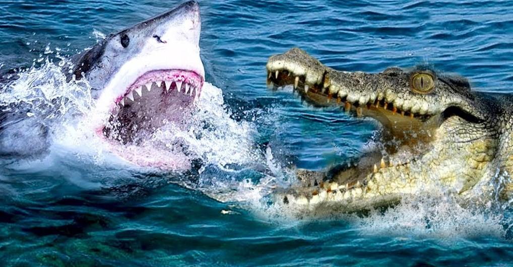 как крокодил нападает на акулу