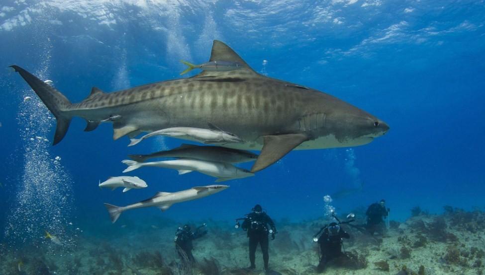 как выглядит тигровая акула