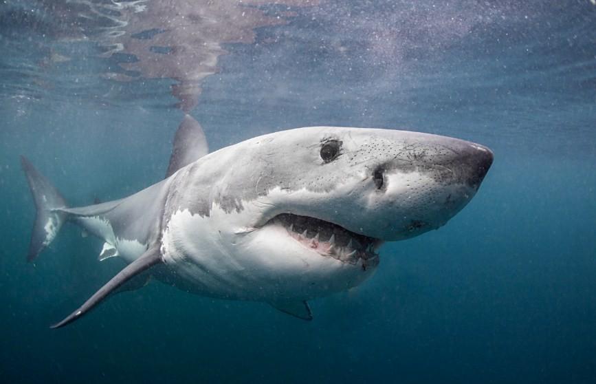 белая акула в воде