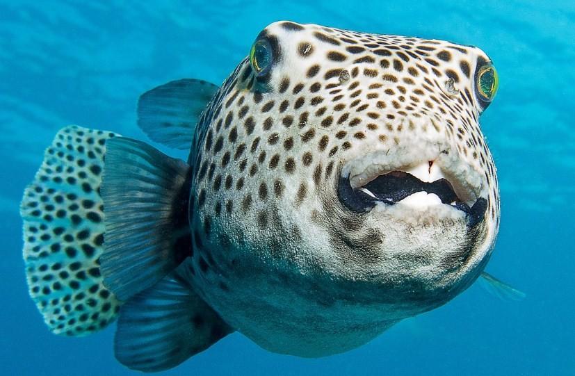 особенности строения рыбы фугу