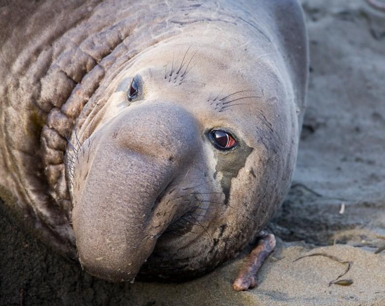 морской слон является тюленем